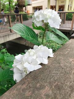 清楚な白の紫陽花の写真・画像素材[1238106]