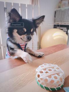 テーブルの上に座っている犬の写真・画像素材[1254392]