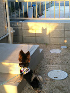 犬,夕日,チワワ,庭,影,シルエット,光,家,フェンス,ブラックタン,小型犬,ブロック塀