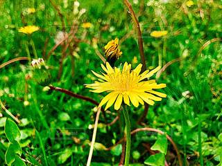 草の中の黄色い花の写真・画像素材[1368112]
