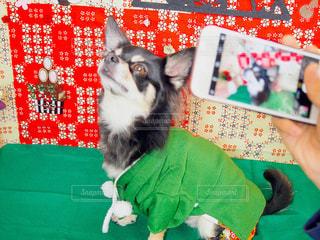 年賀状フォトモデル犬の写真・画像素材[1424403]