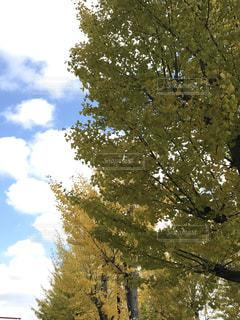 空,秋,雲,青空,晴天,黄色,イチョウ,秋空,銀杏並木,秋色