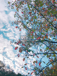空,秋,紅葉,木,緑,赤,雲,晴れ,葉っぱ,茶色,枯葉,秋空,もこもこ雲