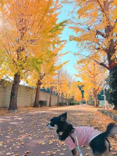 銀杏並木と散歩中チワワの写真・画像素材[1629496]
