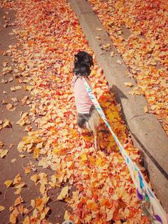 綺麗な黄色のイチョウの葉っぱで散歩する愛犬の写真・画像素材[1629501]