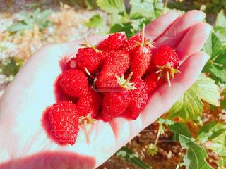 女性,庭,赤,葉っぱ,いちご,手のひら,フルーツ,いっぱい,土,ジューシー,収穫,11月,自宅,ワイルドストロベリー,野生,野いちご