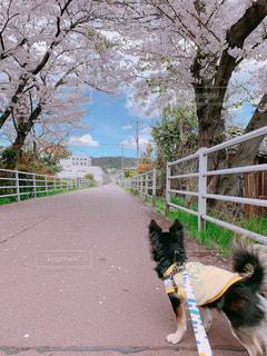 長く続く道に桜のトンネル。の写真・画像素材[2011134]