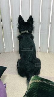 犬,動物,チワワ,リビング,白,後ろ姿,黒,部屋,室内,クッション,背中,隙間,木製,木目,ブラックタン,後ろ,カーペット,スナイパー,首輪,間,じー,パーティション