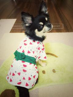 犬,夏,チワワ,緑,かわいい,後ろ姿,室内,わんこ,浴衣,後姿,可愛い,みどり,ブラックタン,帯,振り返る,すまし顔,バックスタイル,犬服,スイカ柄,振り返りわんこ,カブトムシ柄