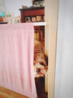 目隠しカーテンからこんにちはの写真・画像素材[2169489]