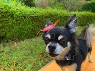 ドロン!変身できる?葉っぱを乗せたチワワの写真・画像素材[2604965]