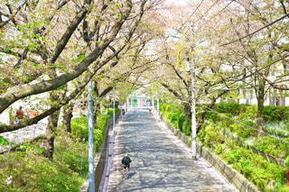 桜坂の写真・画像素材[435602]