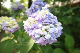 晴れの日の紫陽花 - No.870031