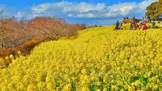 吾妻山公園の菜の花畑の写真・画像素材[1014394]