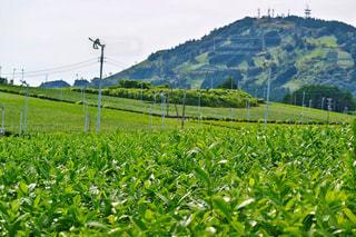 茶畑の中にある茶文字の写真・画像素材[1046451]