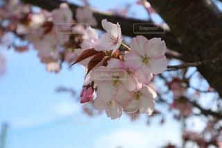 自然,空,花,春,桜,屋外,東京,植物,白,河川敷,多摩川,日中,インスタ,さくら,桜坂,じゃらん,インスタ映え
