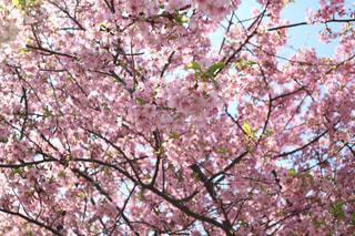 多摩川八重津桜の写真・画像素材[1128302]