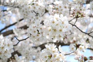 多摩川の桜の写真・画像素材[1128305]