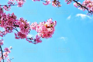 空の中にピンクの桜の写真・画像素材[1135386]