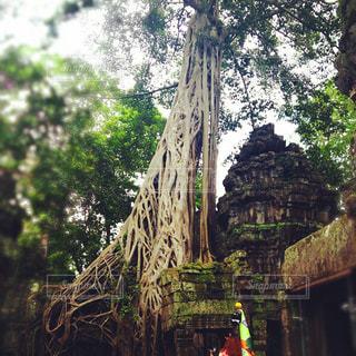 遺跡の中の大木の写真・画像素材[1213385]