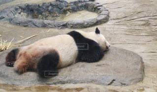 岩の上に横になっているパンダの写真・画像素材[1328824]