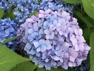 紫陽花の写真・画像素材[1347417]