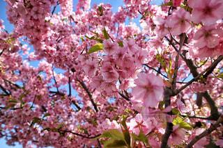花,春,カメラ,桜,ピンク,外,旅行,河川敷,明るい,ミラーレス,河津桜,多摩川,さくら,ミラーレスカメラ