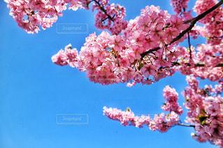空,花,春,カメラ,桜,ピンク,花見,外,旅行,河川敷,明るい,ミラーレス,河津桜,多摩川,さくら,ミラーレスカメラ