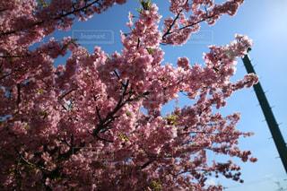 自然,空,花,春,カメラ,桜,東京,散歩,花見,外,旅行,河川敷,明るい,ミラーレス,神奈川,河津桜,ライフスタイル,多摩川,ミラーレスカメラ