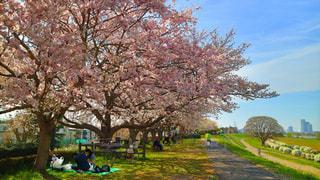 自然,花,春,桜,東京,白,散歩,外,河川敷,ミラーレス,神奈川,ライフスタイル,多摩川,ミラーレスカメラ