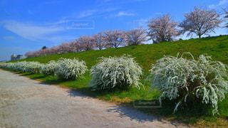 自然,花,春,カメラ,桜,東京,ピンク,白,散歩,花見,ハート,お花見,外,旅行,明るい,ミラーレス,神奈川,ライフスタイル,多摩川,桜坂,ミラーレスカメラ