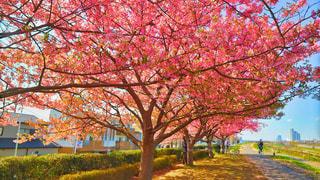 多摩川の桜の写真・画像素材[1842214]