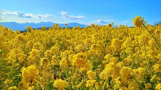 自然,花,春,青空,散歩,黄色,菜の花,花見,お花見,旅行,幸せ,明るい,神奈川,ライフスタイル,ミラーレスカメラ,二宮