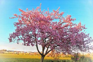 自然,空,公園,花,春,桜,屋外,晴れ,晴天,花見,景色,草,樹木,多摩川,草木,さくら,ブロッサム