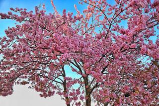 自然,空,公園,花,春,桜,屋外,ピンク,植物,樹木,多摩川,草木,桜の花,さくら,カエデ,ブロッサム