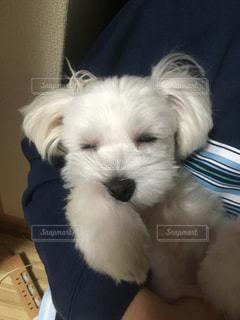 犬,白,ペット,マルチーズ,dog,眠い