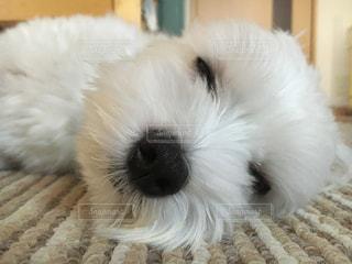 犬,白,ペット,わんこ,マルチーズ,dog,眠い
