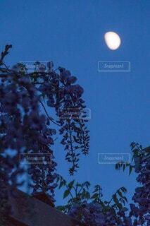 月と藤の花の写真・画像素材[3921337]
