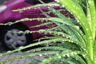 葉に付いた水滴の写真・画像素材[2141187]