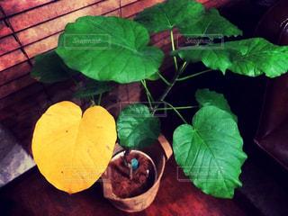 葉っぱ,ハート,観葉植物,ウンベラータ