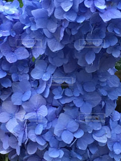 梅雨の紫陽花 - No.849687