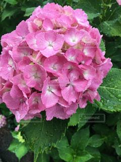 梅雨の紫陽花の写真・画像素材[849695]