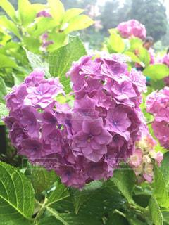 ハートの紫陽花 - No.849738