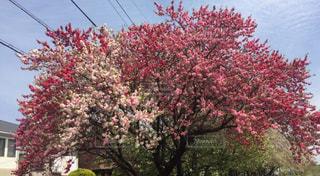 花,木,ピンク,赤,白,3色,愛知県,春日井市,新地蔵川