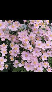 花,ピンク,可愛い,ファンシー