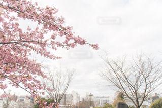 自然,公園,花,春,桜,木,ピンク,植物,季節,サクラ,パステル,卒業,入学,出会い,四季,さみしい,別れ,3月,卒業式,4月,さくら
