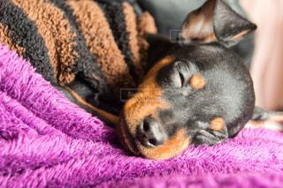 犬,動物,かわいい,ペット,寝顔,寝る,一匹,顔,睡眠,ミニチュアピンシャー,クローズアップ,ミニピン,熟睡,黒い犬,スヤスヤ,ぶさいく,kt_pics