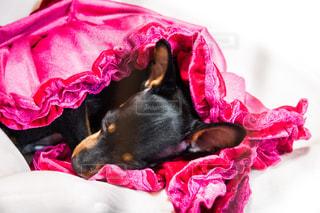 犬,動物,ピンク,かわいい,女の子,ペット,寝顔,寝る,一匹,子犬,睡眠,小型犬,ミニチュアピンシャー,頭,クローズアップ,ミニピン,熟睡,黒い犬,スヤスヤ,kt_pics