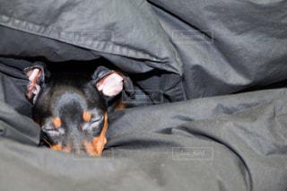 犬,動物,かわいい,黒,室内,ペット,寝る,一匹,布団,顔,子犬,睡眠,インドア,ミニチュアピンシャー,頭,クローズアップ,ミニピン,ドッグ,黒い犬,挟まる,kt_pics