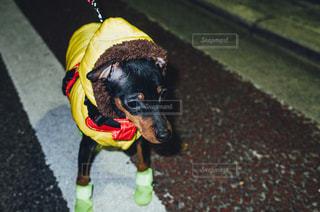 弱そうな散歩中のダウンジャケットを着たミニチュアピンシャーの子犬の写真・画像素材[484031]